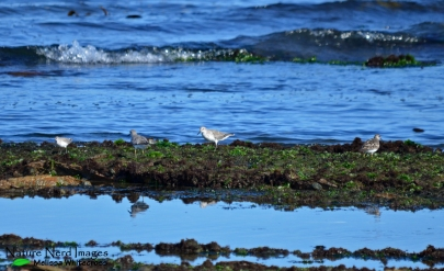 Red knot eating seaweed