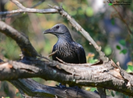 A female red-winged starling headshot (note the grey head)