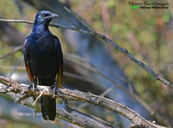 A male red-winged starling