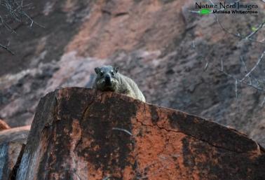 Dassie warming up on his rock