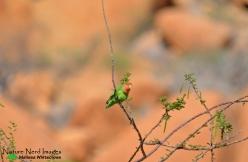 Rosy-faced lovebird sitting still for once