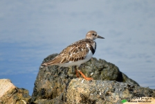 Ruddy turnstone perching on a stone