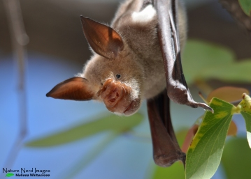 A striped leaf-nosed bat