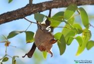 Slit-nosed Bat 2 - Halali, Etosha, Namibia