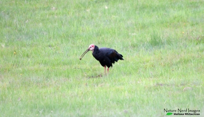 Southern bald ibis at the entrance