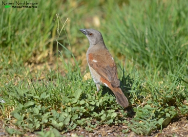 Souther grey-headed sparrow