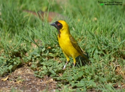 Southern masked-weaver at the camp