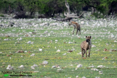 Spotted hyenas coming to drink