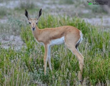 Springbok calf