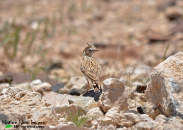 Stark's lark with crest up