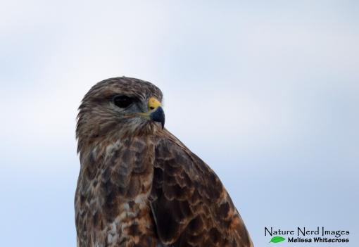 Steppe buzzard watching us