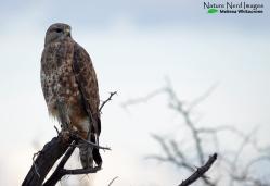 Pensive steppe buzzard