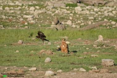 Crow mobbing tawny eagle