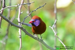 A handsome male violet-eared waxbill