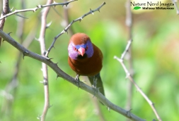 Violet-earred Waxbill - Waterberg, Namibia