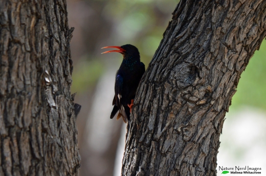 Violet wood-hoopoe, the star of the show