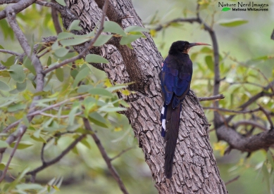 Violet wood-hoopoe in camp