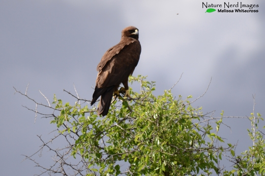 Wahlberg's eagle looking handsome