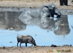 Bathing ellie and warthog