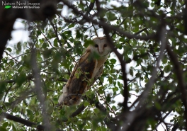 Barn owl from one of the picnic sites