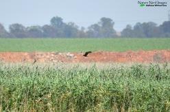 Western Marsh Harrier - Marievale Bird Sanctuary