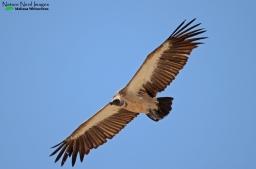White-backed vulture flyover