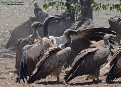 Vultures on a zebra kill