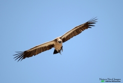 WHite-backed Vulture - Etosha, Namibia