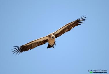 WHite-backed Vulture - Etosha, Namibia