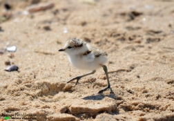 Baby plover chick on the beach