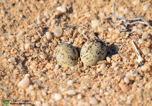 White-fronted plover eggs