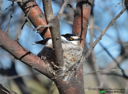 White-tailed shrike on a nest