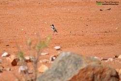 A white-tailed shrike on the roadside
