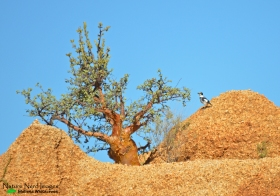 White-tailed shrike in Spitzkoppe