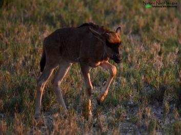 Baby not-so-blue wildebeest