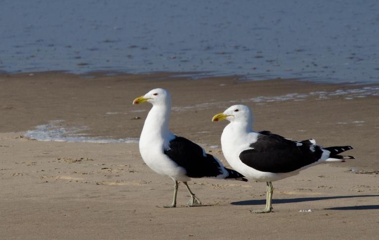 Kelp Gull 1 - Mpetjane, KZN