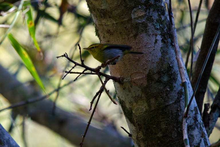 Yellow-throated Woodland Warbler 1 - Oribi Gorge, KZN