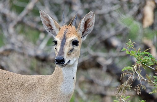 A male Common Duiker being pestered by flies