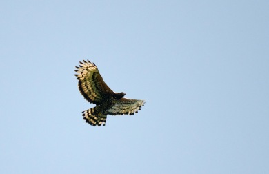 A flyover by a Crowned Eagle outside Nelspruit