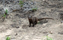 A Dwarf Mongoose foraging on the roadside