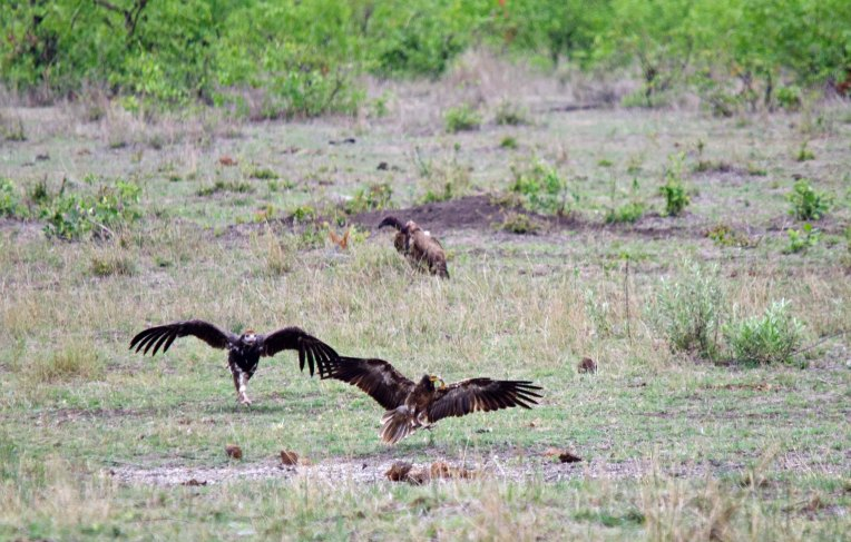 Run little Egyptian Vulture!