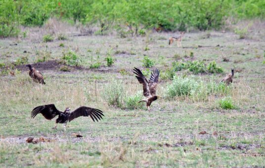 A spat between the Egyptian Vulture and a White-headed Vulture