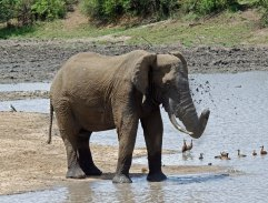 A beautiful bull African Elephant taking a bath
