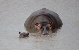Hippopotamus mother and calf keeping an eye on us