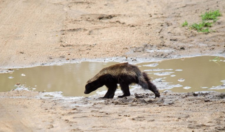An incredible sighting of a Honey Badger in the road
