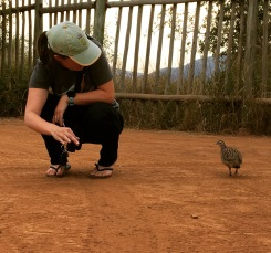 Making new friends with a Crested Guineafowl
