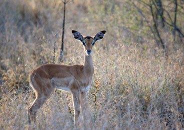 One of many baby Impalas around the park