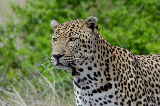 The amazing male Leopard getting ready to cross the road