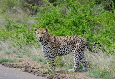 The best looking Leopard
