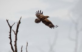 Another big brown eagle
